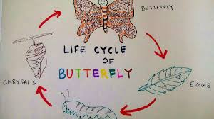 How To Draw Butterfly Life Cycle Of A Butterfly Teens Stuff