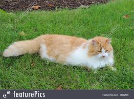 fluffy white and orange cats. Fine Cats Orange And White Domestic Long Hair Cat In The Grass RoyaltyFree Stock  Image With Fluffy Cats N