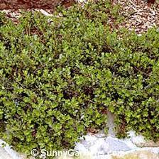 arctostaphylos uva ursi manzanita mon bearberry