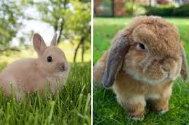 Holland Lop Vs Netherland Dwarf Which Breed Is Best For You