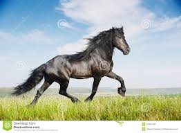 black horses running in a field. Exellent Running Beautiful Black Horse Running Trot For Black Horses Running In A Field A