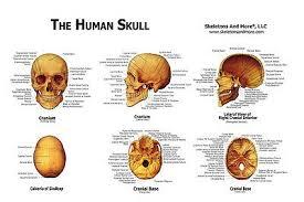 Human Skull Anatomical Chart Models Skulls New 8 95