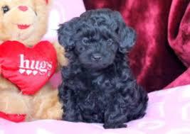 victor morkiepoo puppy for in pennsylvania