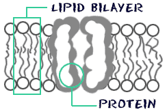 cell structure cell membrane