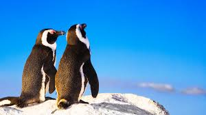 two penguins holding hands.  Holding Love Birds Two Penguins Take A Romantic Stroll On The Beach Handin With Penguins Holding Hands