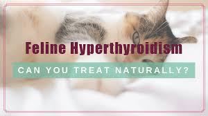 feline hyperthyroidism can you treat