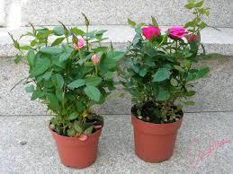 El Jardín En Tus Manos  Cuidado De Los Rosales  YouTubeCuidados De Los Rosales