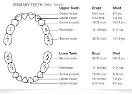 What Age Do Kids Lose Teeth Chart Babies First Teeth Scarsdale Ny Baby Tooth Eruption