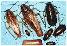 Roach Size Chart German Cockroaches General Pest Ohio