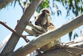 best ideas about koala essay koala essay