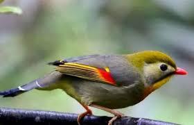 Burung trucukan, sebenarnya bukan jenis burung petarung sejati, dan sifat fighternya tersebut biasanya di pengaruhi oleh sifat teritorial dan juga di pengaruhi agar kualitas suara burung trucukan mampu mengeluarkan suara yang berkualitas pada saat lomba, maka ada beberapa hal yang perlu di. Index Of Wp Content Uploads 2019 12