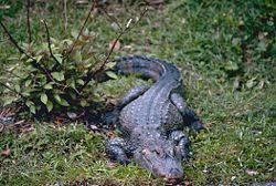 <b>Crocodile</b> - New World Encyclopedia
