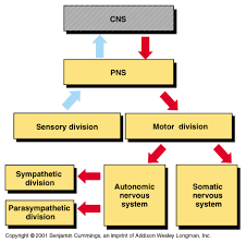 Cns Pns Chart Brain And Nervous System For Teens The Divisions Of
