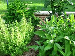 Herb Garden Herbs In Pots Tips For Container Gardening With Herbal Plants