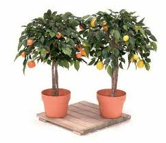 Best 25 Avocado Tree For Sale Ideas On Pinterest  Fast Growing Fruit Tree Sale Houston