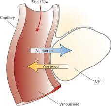 the cardiovascular system human