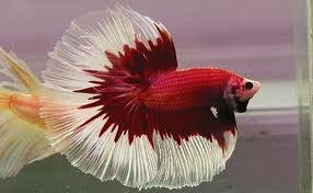 Punya Penampilan Cantik Habis, Yuk Kenalin Jenis-jenis Ikan Cupang