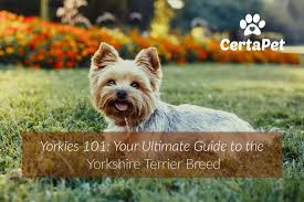 yorkies 101 your ultimate guide to the yorkshire terrier breed