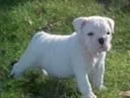 white english bulldog.  English Pure White English Bulldog For Adoption In White English Bulldog E