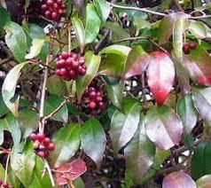 Кадзура японская кадзура kadsura japonica вечнозеленый  Кадзура японская kadsura japonica