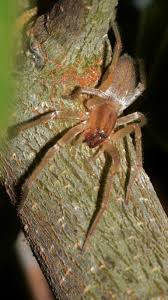 South Africas Big Five Of Dangerous Spiders By Exp