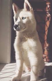 beautiful blue eyes cute dog hats puppy soft white