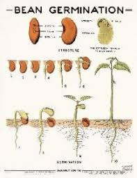 Bean Germination Chart