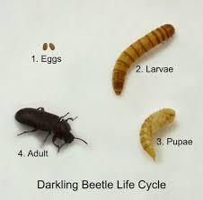 Mealworm Size Chart Beetle Life Cycle Kit