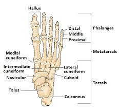 index of  data images about ra foot healthfoot diagram