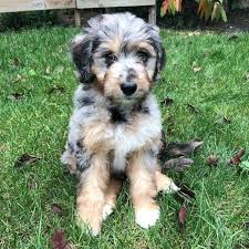 Aussiedoodle Size Chart Browse Aussiedoodle Images And Ideas On Pinterest