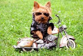 Image result for dogs in motorcycle jackets