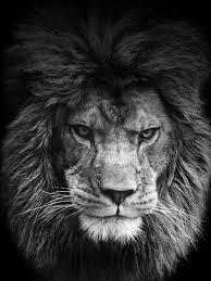 White Lion Wallpaper, Lion Wallpaper HD ...