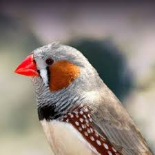 Baby Bird Age Chart Zebra Finch Personality Food Care Pet Birds By Lafeber Co