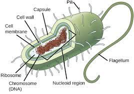 Compare Prokaryotic And Eukaryotic Cells Venn Diagram 3 2 Comparing Prokaryotic And Eukaryotic Cells Concepts Of