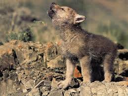 cute baby wolf in the wild. Beautiful Wolves Animals Wild Wolf Cute Baby With In The