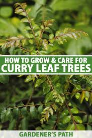 how to grow curry leaf trees gardener