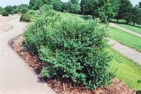 bachmans garden center. White Snowberry (Symphoricarpos Albus) At Bachman\u0027s Landscaping Bachmans Garden Center