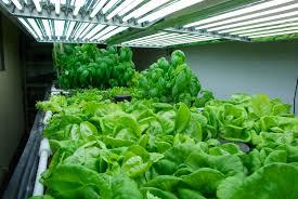 grow lights in the growroom