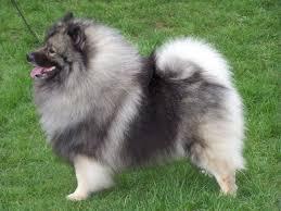 Resultado de imagen para imagenes de perros keeshond