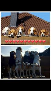 The 138 best images about Beautiful beagles on Pinterest Beagle.