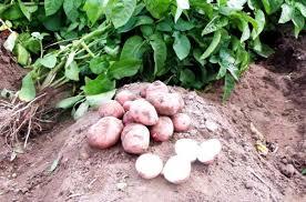 Фитофтороз картофеля признаки причины профилактика Уборка картофеля на огороде