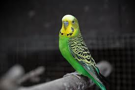 yellow and green budgerigar photo – Free Animal Image on Unsplash