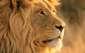 lion wallpaper 13 2880 x 1800