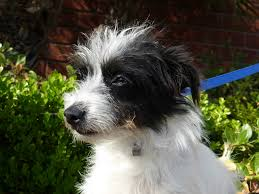 black and white terrier mix.  Terrier 10 Months Old Black And White Tiny Terrier Mix Katie An Old English  Name That Means  On And White Mix I