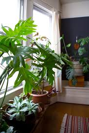 plant o pedia lacy tree philodendron