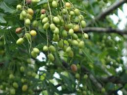 the medicinal properties of neem natural health seed oil oil  neem seed oil is probably the most significantly important derivative from the neem tree it