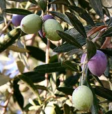 Olive  WikiwandWild Olive Tree Fruit