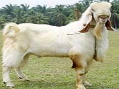 Live Stock Goat Breeds Of Goat