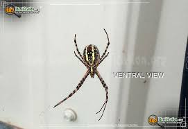 full sized image 8 of the black and yellow garden spider
