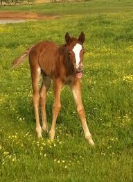 Owner: Twila Freeman Foal: Thor 2014 Triple Crown Cute Foal Contest  Submissions | Foals, Triple crown, Cute